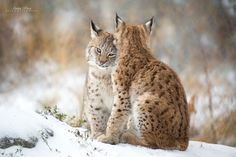 Anita Price Lynx Love II - Two lynxes cuddling and hugging each other. Dead plants and snow gives a golden light.
