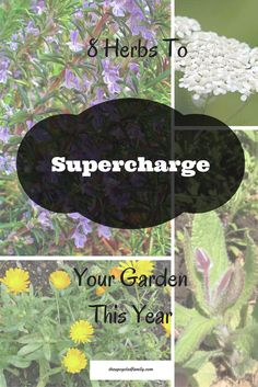 8 herbs to plant to supercharge your garden this year! Increase production, reduce pests and still have herbs for food and medicinal purposes