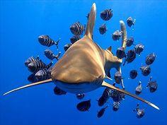 Requin océanique avec des poissons pilotes. Corail d'Elphinstone - Mer Rouge