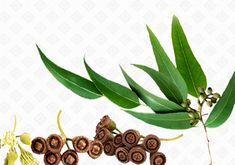 Health Benefits of Eucalyptus Oil In Your Daily Life!