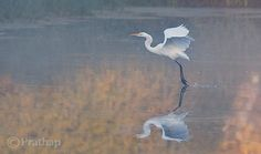 Great Egret in Misty Morning by Prathap