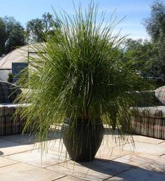 Gt large cape rush plants pinterest plants capes and products