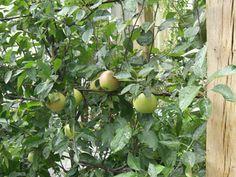 Duncan Terrace | Projects | Richard Miers - Garden Design Terrace, Garden Design, Fruit, Projects, Balcony, Log Projects, Blue Prints, Patio, Landscape Designs