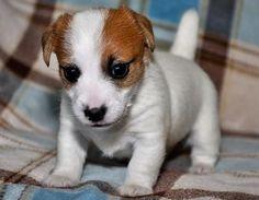Jack Russell Terrier Puppies Sale Glendale | Petzlover 106579