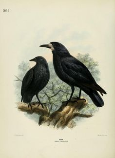Rook, A History of the Birds of Europe, H.E. Dresser, 1871-1881. Biodiversity Heritage Library