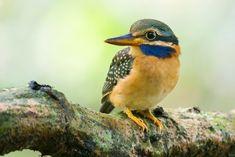 アオヒゲショウビン Rufous-collared kingfisher (Actenoides concretus) female