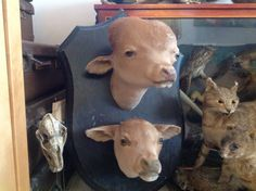 Rare calf mount.