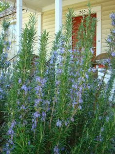 Rosemary is fragrant, beautiful and blends well in both recipes and gardens. | Arty's Garden, the Bulletin Blog
