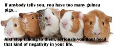 You can never have too many guinea pigs!