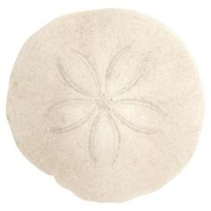 Learn how to preserve and seal a sand dollar.