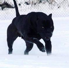 Prague, the Pitbull, is very often compared to a Black Panther because of his rare jet-black coat. All Black Pitbull, Black Pitbull Puppies, Pit Puppies, Big Dogs, Cute Dogs, Giant Dogs, Cute Baby Animals, Funny Animals, Mexican Hairless Dog
