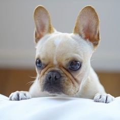 """I can stare at you all day"", Leo, the French Bulldog Puppy is not bluffing, @frenchieleo on instagram"