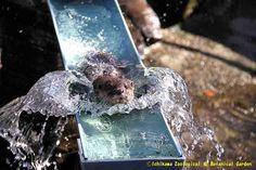 夏ならではの風景!…と思いきや、実はこの写真は12月に撮影したものなのです。水遊びは一年中!(ただし、気が向いた時だけ)#市川市動植物園 #カワウソ