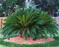 A large Sago Palm...I have several of these and were the beginning of my love for Palm trees (even though this isn't technically a Palm)