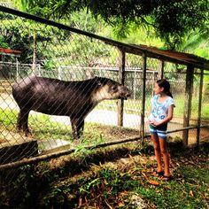 Tapir at Summit Zoo and Botanical Gardens, panama
