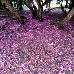 A purple carpet of dropped rhododendron petals