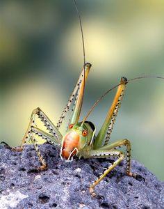 Predatory Katydid by Bob Jensen Beautiful Bugs, Animals Beautiful, Cute Animals, Cool Insects, Bugs And Insects, Pictures Of Insects, Cool Bugs, A Bug's Life, All About Animals