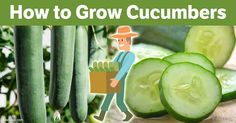 Cucumbers are made up of 90 to 95 percent water, but they still provide a host of valuable nutrients, including vitamins A, B5, C and K, silica, fiber and more. http://articles.mercola.com/sites/articles/archive/2017/05/12/growing-cucumbers.aspx?utm_source=dnl&utm_medium=email&utm_content=art1&utm_campaign=20170512Z3&et_cid=DM142940&et_rid=2003329478