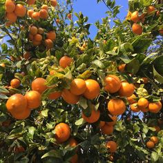 """""""What do you think; Are these #OjaiPixies ready to harvest or what?  We're getting excited."""" @melissasproduce"""