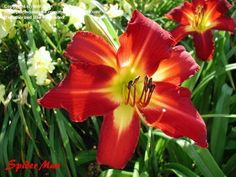 Daylily 'Spider Man' apricot bed