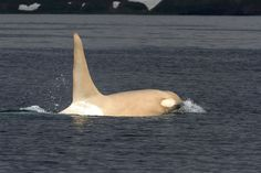 White orcas are so rare, there was once only one. Now they are being spotted…