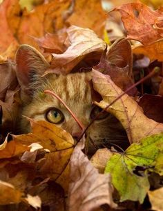 (KO). Fall Camouflage for a little cat. Now he settles in to wait for a bug to show it's evil face. He will destroy that bug for the sake of humans everywhere. Relax world, and know that this itty bitty cat has your back.