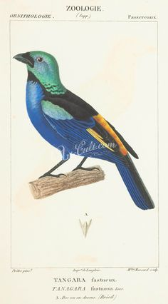 Seven-coloured Tanager      ...