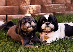 a pair of Shih Tzus