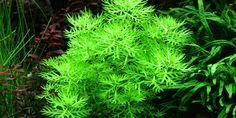 Hottonia palustris - Tropica Aquarium Plants