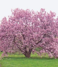 How to grow magnolia trees in the Midwest.