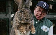 flemish giant rabbit | Giant Valencia rabbits to return to Spanish menus - 18 February 2009 ...