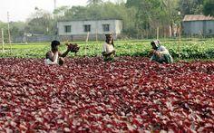 শাকপাতার গ্রামে - bdnews24.com
