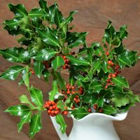 +Preserved+Fresh+Holly+Branches