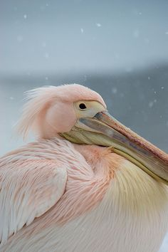 Pink Pelican looking bemused deep in the February snow...St james park in London.