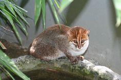 Flat-Headed Cat - Endangered Cat Species  #nature #cat #wildlife