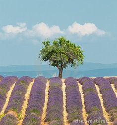Tree in lavender field, Provence, France by Javarman, via Dreamstime