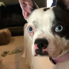 Meet Dottie, an adopted Boston Terrier Mix Dog, from New Orleans Bulldog Rescue in New Orleans, LA on Petfinder. Learn more about Dottie today. Terrier Mix Dogs, Boston Terrier, Animal Shelter, Animal Rescue, Bulldog Rescue, Dog Friends, Pet Adoption, Your Pet, Dogs And Puppies