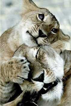 cute lion love