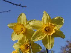 Narcissus pseudonarcissus (cultiv) Biopix foto 68900