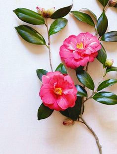 Camellias...I have fifty or more varieties in my southern Virginia garden....luv...luv...luv...the camellias.....