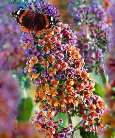 buddleia multicolored