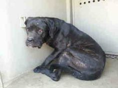 Lovables: ((EXTREMELY URGENT)) This HEARTBROKEN PUPPY'S only 10 months old!) Her name is Eclair & she is a female Cane Corso, not yet spayed. I have been at this shelter since 10/25/13 RESCUE ONLY~Animal ID#A4646399 Contact Us: Downey Animal Care Center Dispatch: (562) 940-6898 Note: All calls for our animal care centers are routed through our Communication Ctr/Dispatch for handling. SHE'S RUNNING OUT OF TIME - PLS HELP SHARE!     RESCUE ONLY @ Downey, CA 90242 Animal ID: A4646399