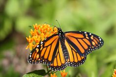 monarch butterflies - Google Search 4272x2848