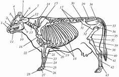 Часть 1 Особенности анатомии и физиологии крупного рогатого скота / Болезни крупного рогатого скота