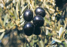 The importance of varieties of olives. In Spain, more than 260 varieties of olives are cultivated, discover some of them here! Fruit, Olive Oils, Olives, Food, Shades Of Green, Different Types Of, Herbs, Essen, Olive Oil