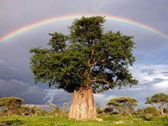 'Rainbow over Baobab Tree' - Photograph by Beverly Joubert -