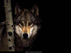 Wolves: Free Wolf Photos, Wallpaper, Desktops & More