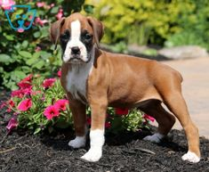 Charm | Boxer Puppy For Sale | Keystone Puppies Boxer Puppies For Sale, Cute Puppies, Design Development, Dogs, Animals, Animales, Animaux, Pet Dogs, Doggies