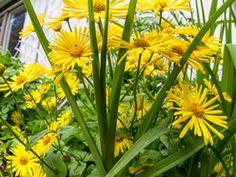 Doronicum orientale, Finland by Heikki Rantala Oriental, Finland, Gardening, Plants, Fun, Lawn And Garden, Plant, Planets, Horticulture