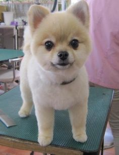 pomeranian short hair